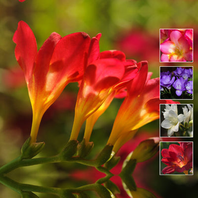 FREESIA Scented Bright Giants x20 Seeds. Very large flowers. Premium variety