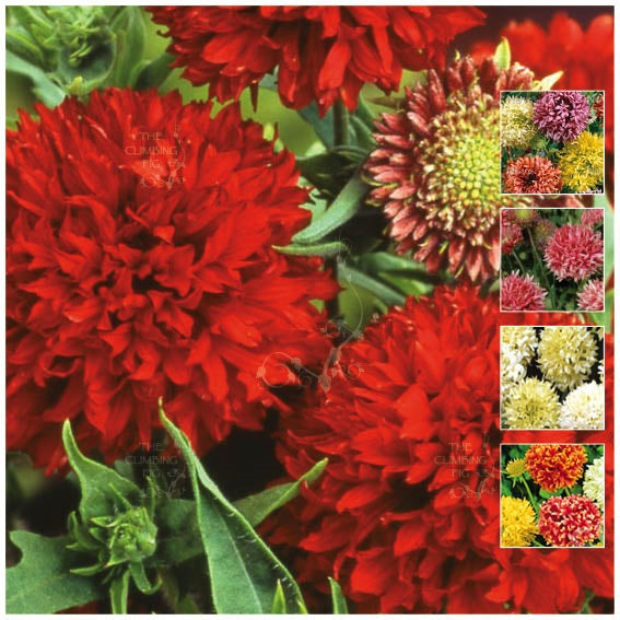 Gaillardia Rembrandt Double Mix Seeds