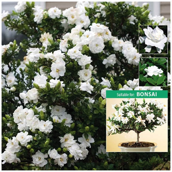 Gardenia Jasminoides Cape Jasmine Seeds. Fragrant flowers. Hedge pots & bonsai
