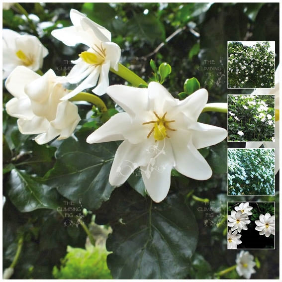 GARDENIA THUNBERGIA White Gardenia Seeds. Extremely fragrant flowering shrub