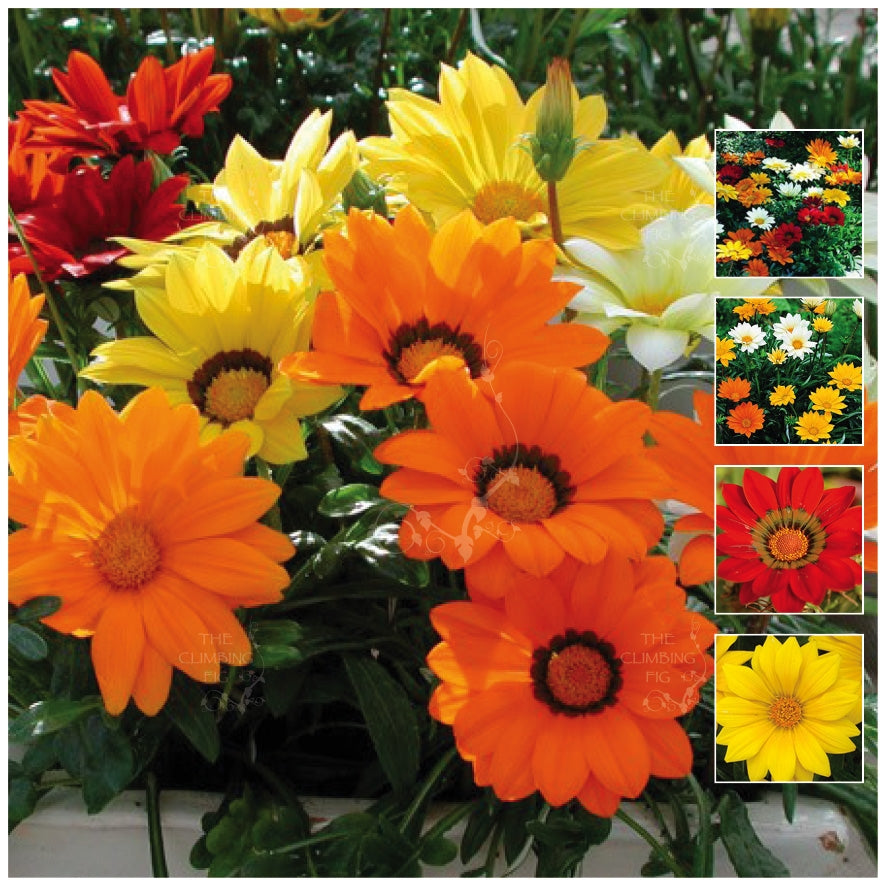 Gazania Gazoo Mix Seeds