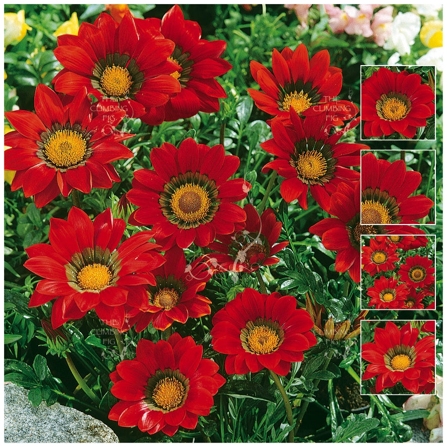 Gazania Gazoo Red with Ring Seeds