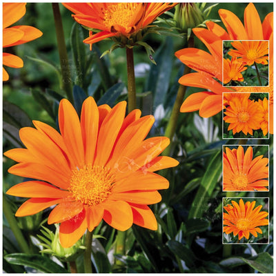 Gazania Gazoo Clear Orange Seeds