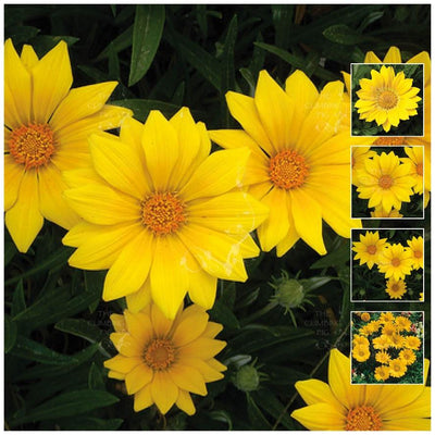 Gazania Gazoo Clear Yellow Seeds