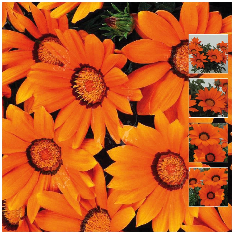 Gazania Gazoo Orange with Ring Seeds