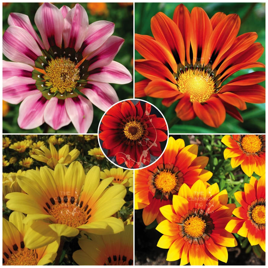 Gazania Intrepid Hybrid Mix Seeds