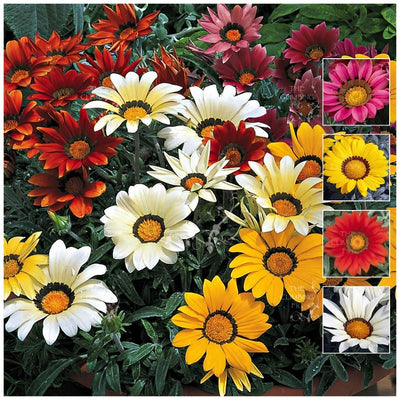 Gazania Kiss Frosty Mix Seeds