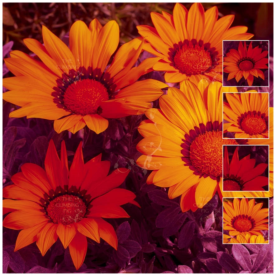 Gazania Kiss Frosty Orange Seeds