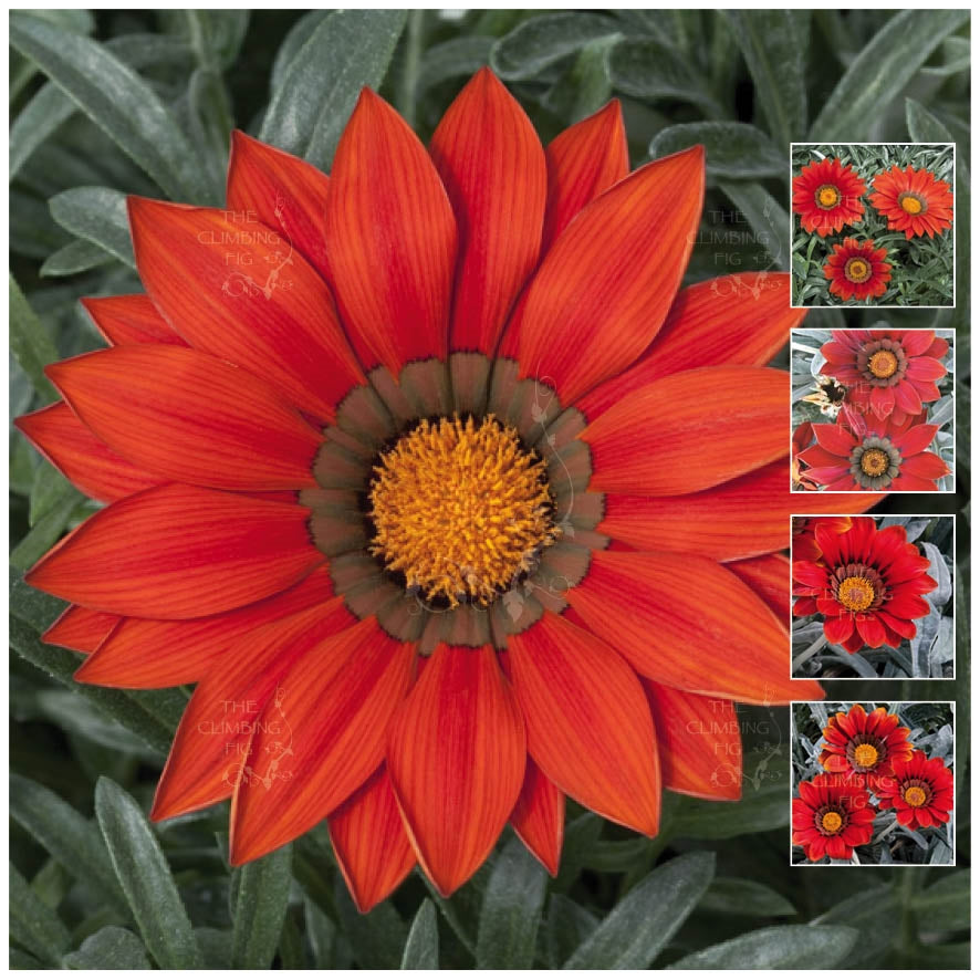 Gazania Kiss Frosty Red Seeds