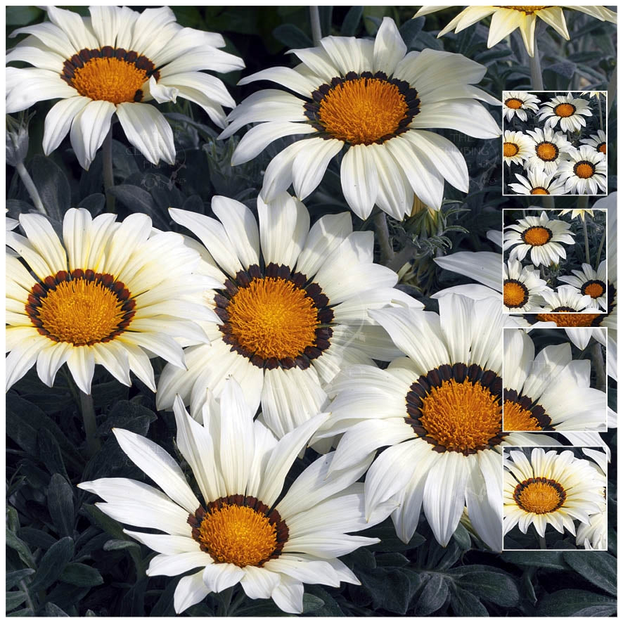 Gazania Kiss Frosty White Seeds