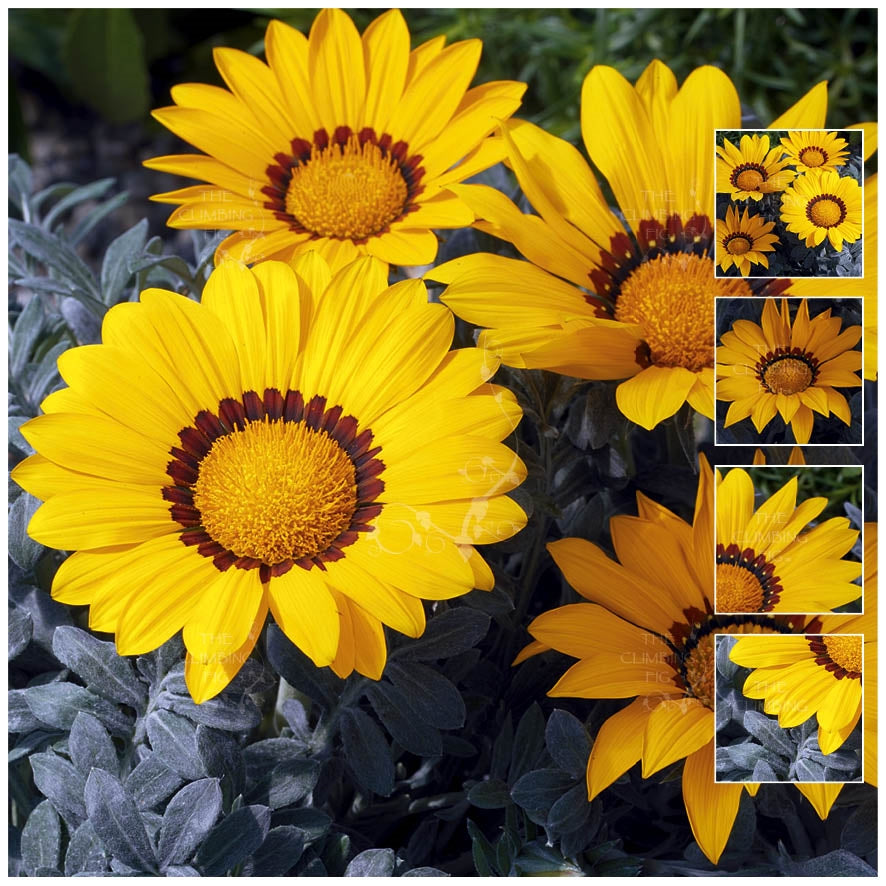 Gazania Kiss Frosty Yellow Seeds