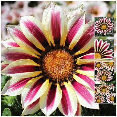 Gazania Kiss Frosty White Flame Seeds