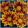 Gazania Kiss Golden Flame Seeds