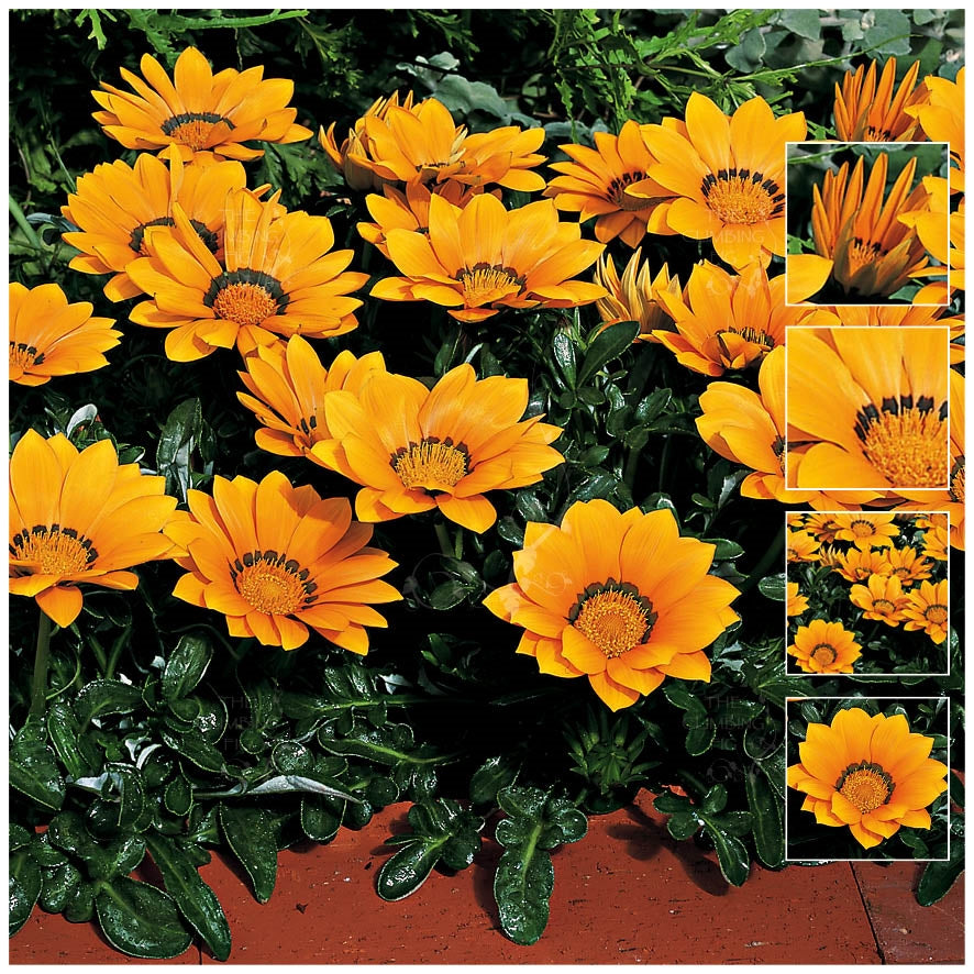 Gazania Kiss Golden Yellow Seeds