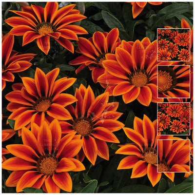 Gazania Kiss Orange Flame Seeds