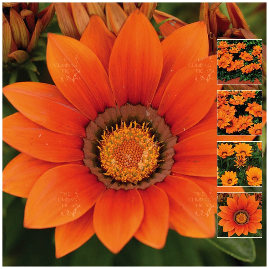 Gazania Kiss Orange Seeds