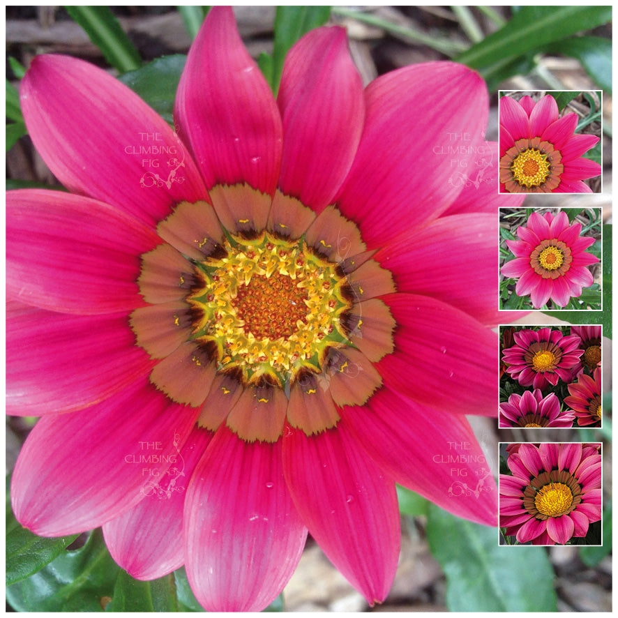 Gazania Kiss Rose Seeds