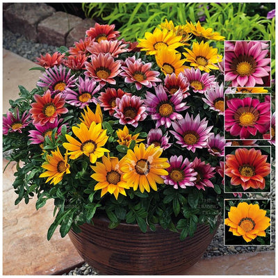 Gazania Kiss and Tell Mix Seeds