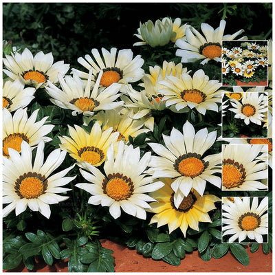 Gazania Kiss White Seeds