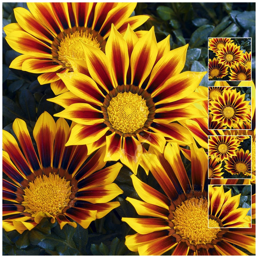 Gazania Kiss Yellow Flame Seeds