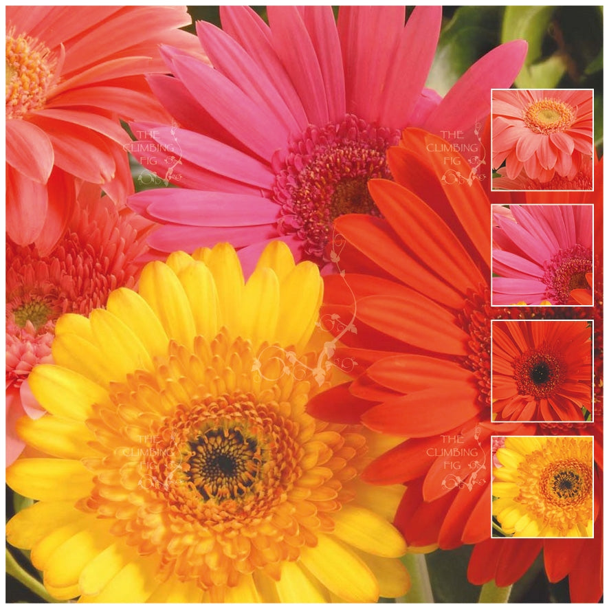 Gerbera Jamesonii Hybrid Mix Seeds