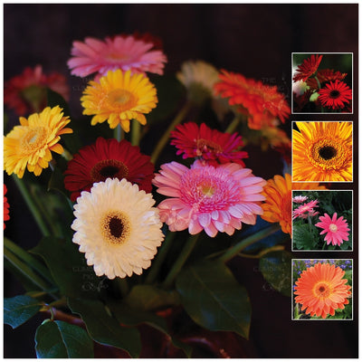 Gerbera Vibrant Collection Seeds