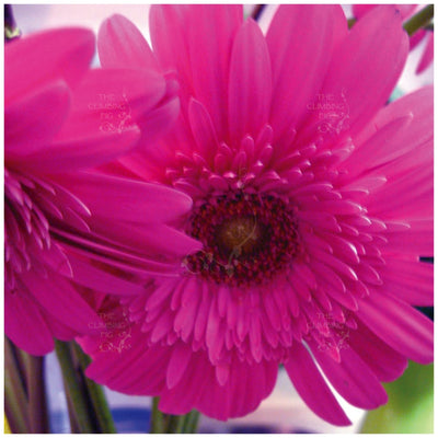 Gerbera Flori Line Maxi Double Rose Seeds
