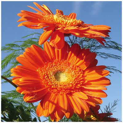 Gerbera Flori Line Maxi Orange Seeds