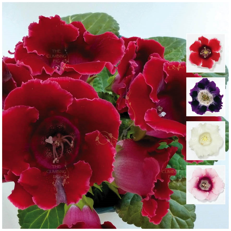 Gloxinia Empress Hybrid Mix Seeds