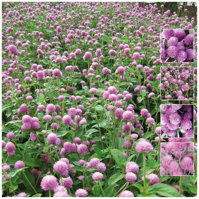 Gomphrena Audray Pink Seeds