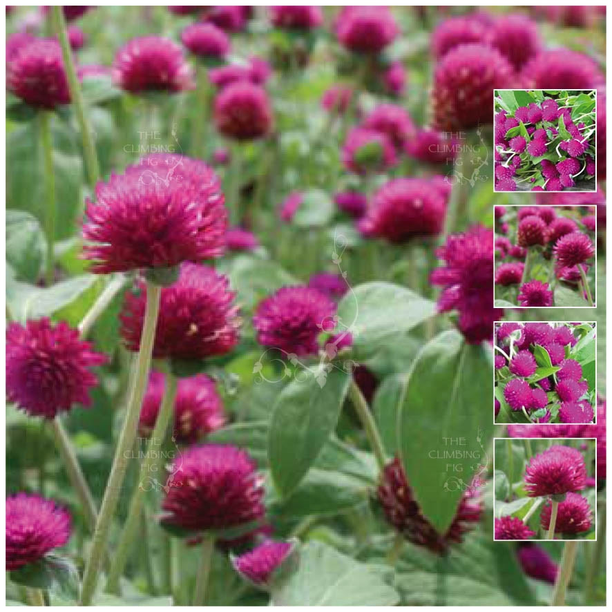 Gomphrena Buddy Purple Seeds
