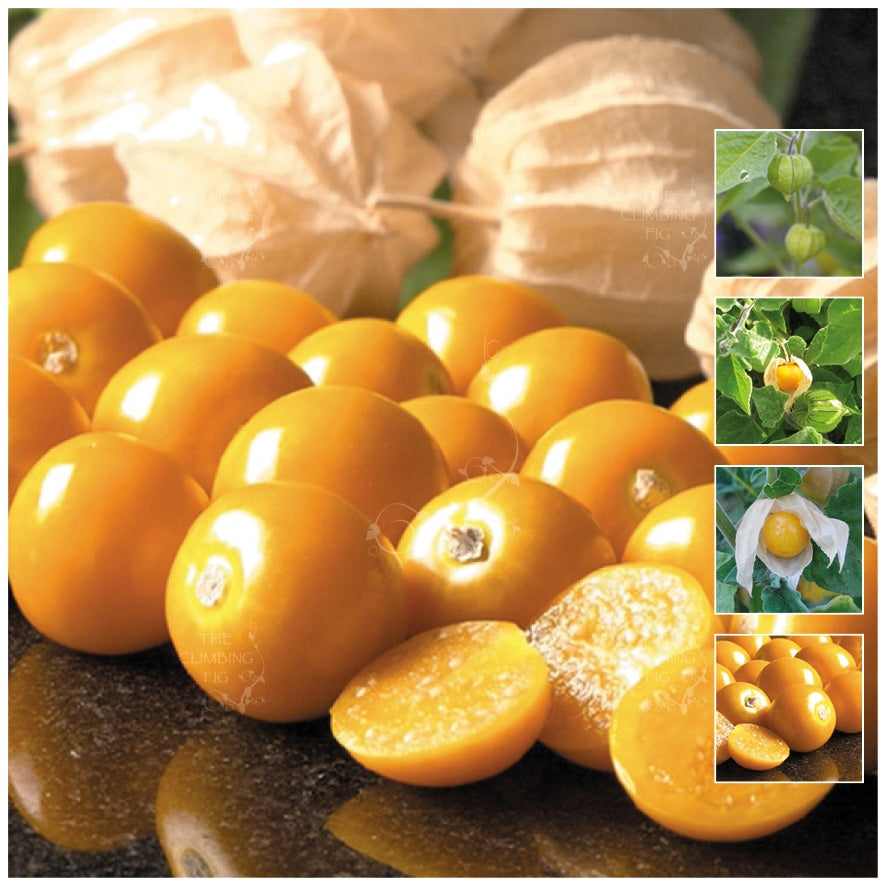 GOOSEBERRY Goldie Seeds. Premium variety. Heavy yielding sweet fruit