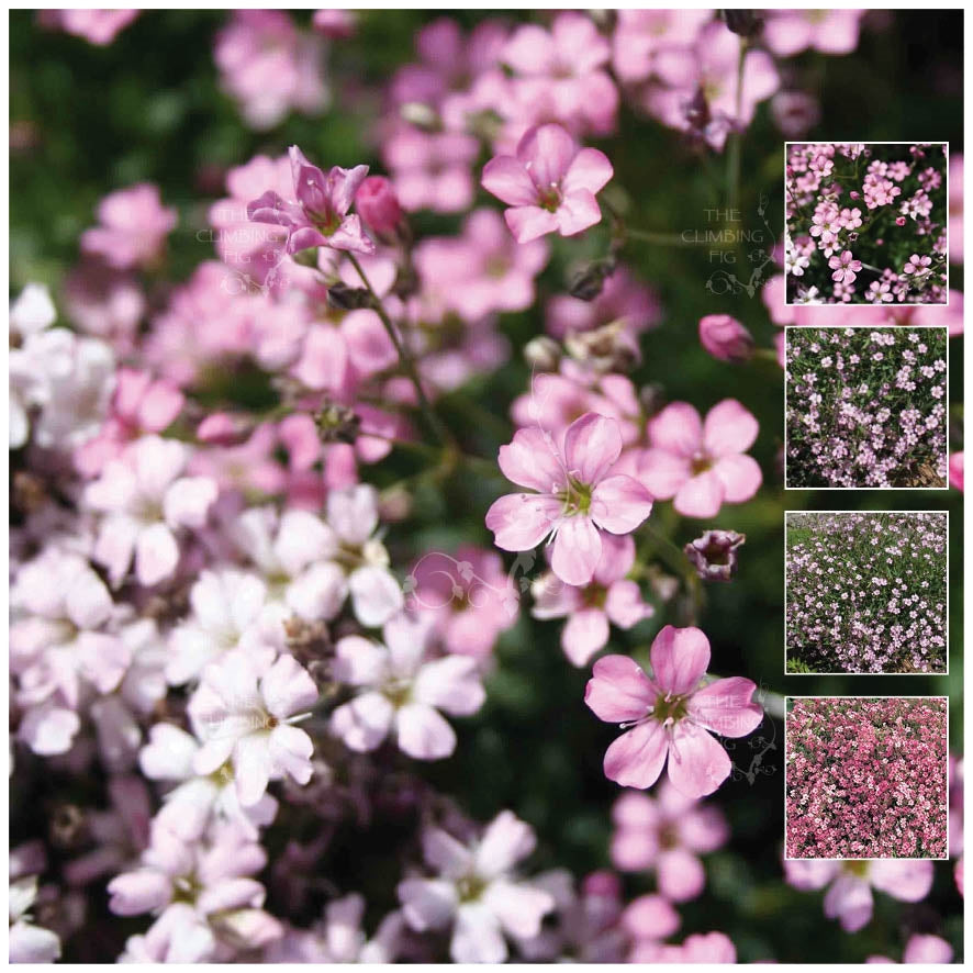 Gypsophila Angel's Breath Pink Seeds