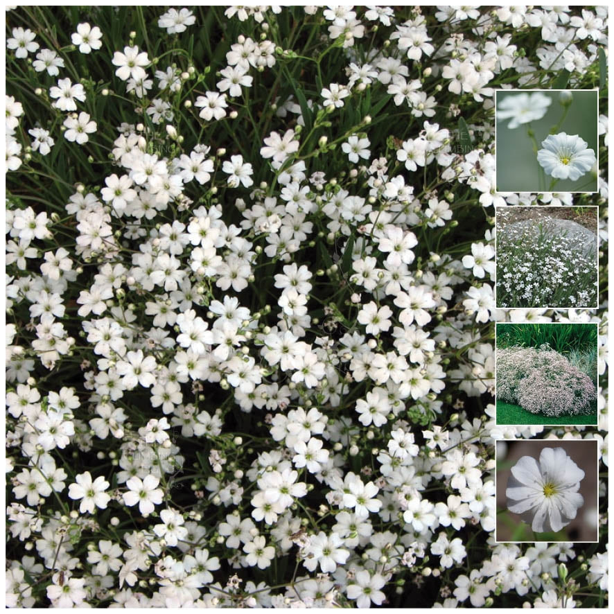 Gypsophila Covent Garden Seeds