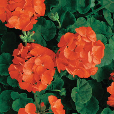 GERANIUM Maverick Orange Premium Seeds. Heavy flowering hybrid cultivar