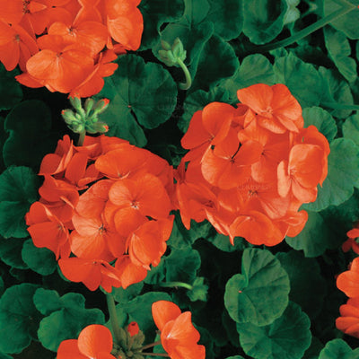 GERANIUM Maverick Orange x10 Premium Seeds. Heavy flowering hybrid cultivar