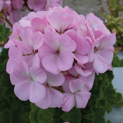 GERANIUM Maverick Quicksilver x10 Seeds. Heavy flowering commercial hybrid, pink