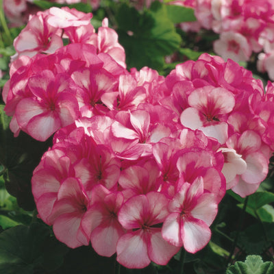 GERANIUM Maverick Star x10 Seeds. Heavy flowering commercial hybrid cultivar