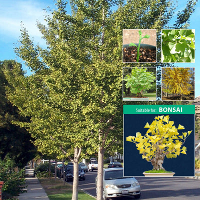 Ginkgo Biloba Maidenhair Tree x4 Seeds. Specimen tree suitable for bonsai