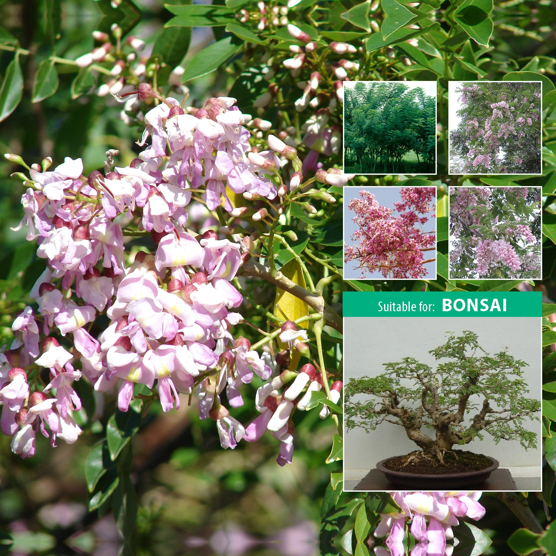 GLIRICIDIA Mexican Pink Lilac Tree Seeds