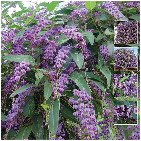 Hardenbergia Violacea Happy Wanderer Seeds. Native evergreen wisteria climber