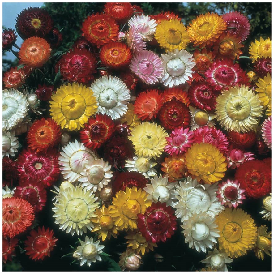 Helichrysum Bright Bikinis Mix Seeds