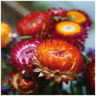 Helichrysum Sultane Mix Seeds