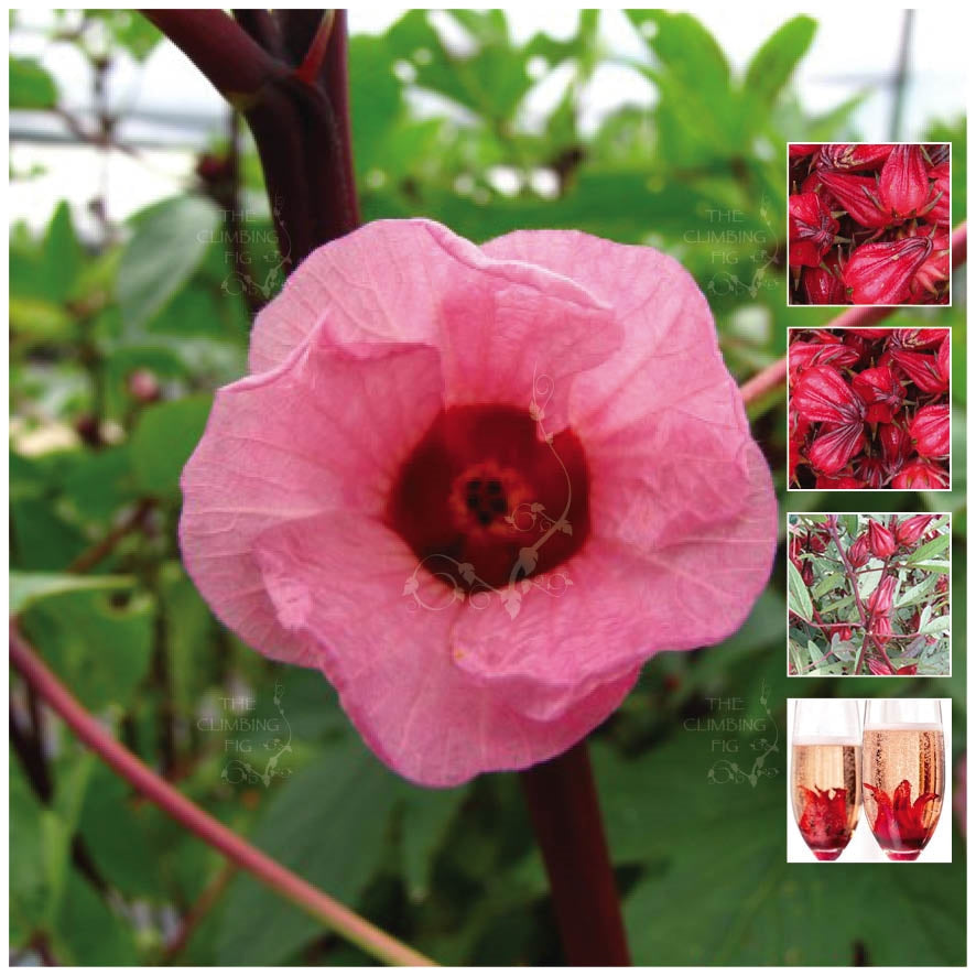 HIBISCUS ROSELLA Bella Seeds. Edible fruit ideal for exotic-drink or jams