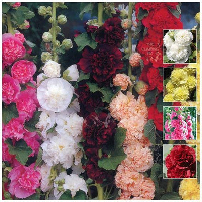 Hollyhock Regal Double Mix Seeds