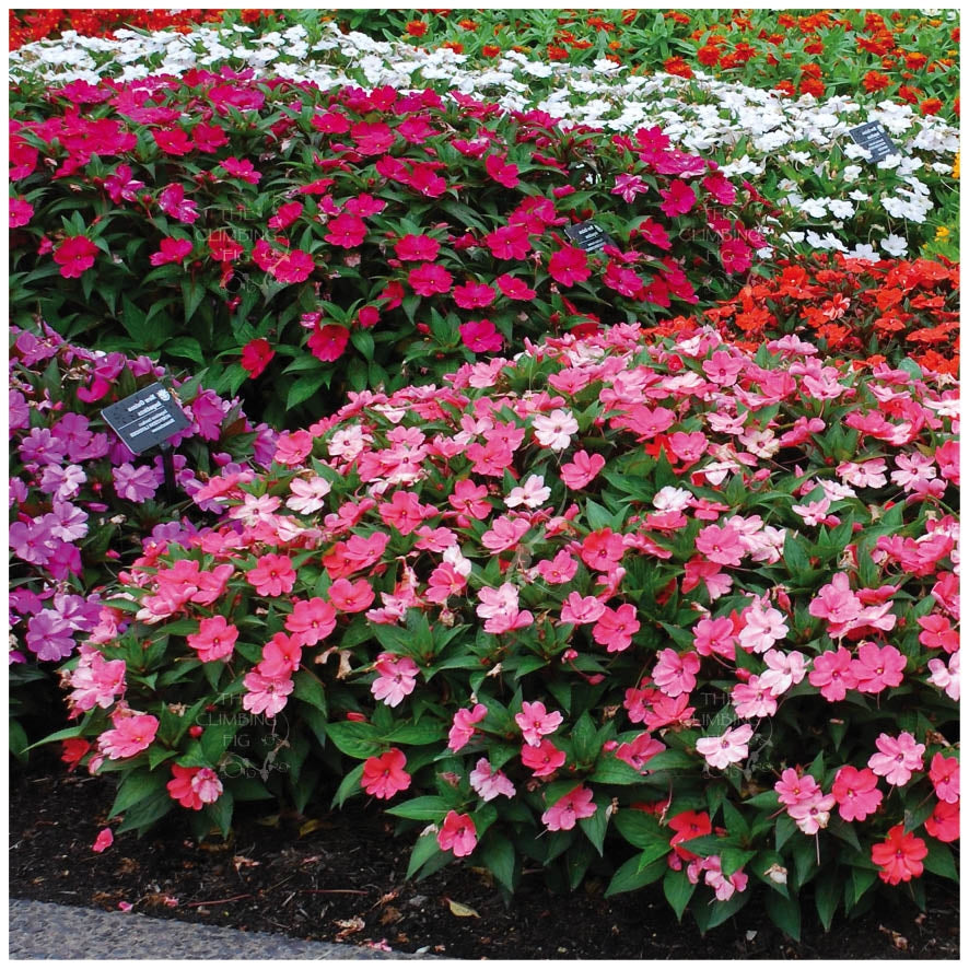 Impatiens Colour Sensation Seeds