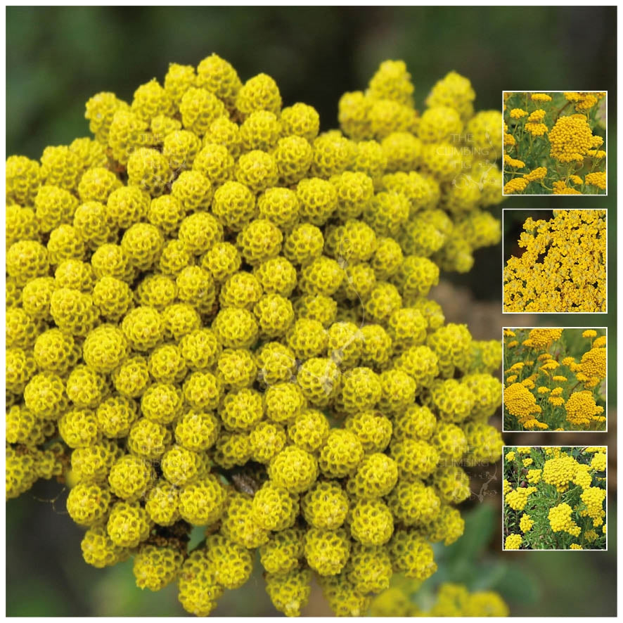 Inodora Yellow Ageratum Seeds