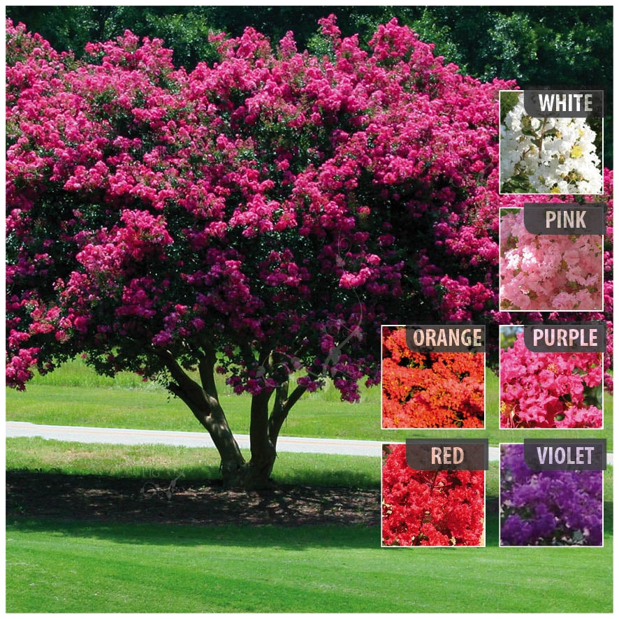 Lagerstroemia Sarusuberi Crepe Myrtle Seeds. Pink, purple, orange, red & white