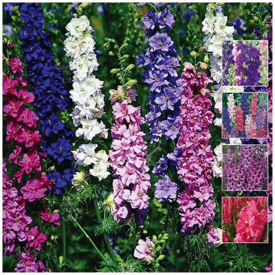 Larkspur Imperial Giants Mix Seeds