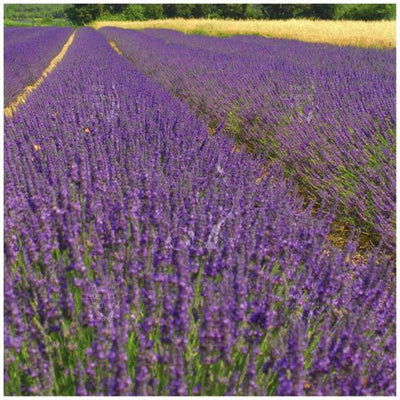 Lavender Truer Than True Seeds
